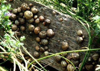 Dordogne-slakkenkwekerij: L'Escargot du Queylou - Aurélie de Vente