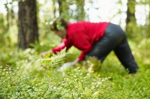 Paddenstoelen, champignons truffel en bosvruchten plukken in Dordogne.